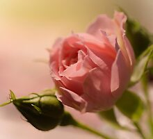 Single Pink Rose by Robyn Gosby