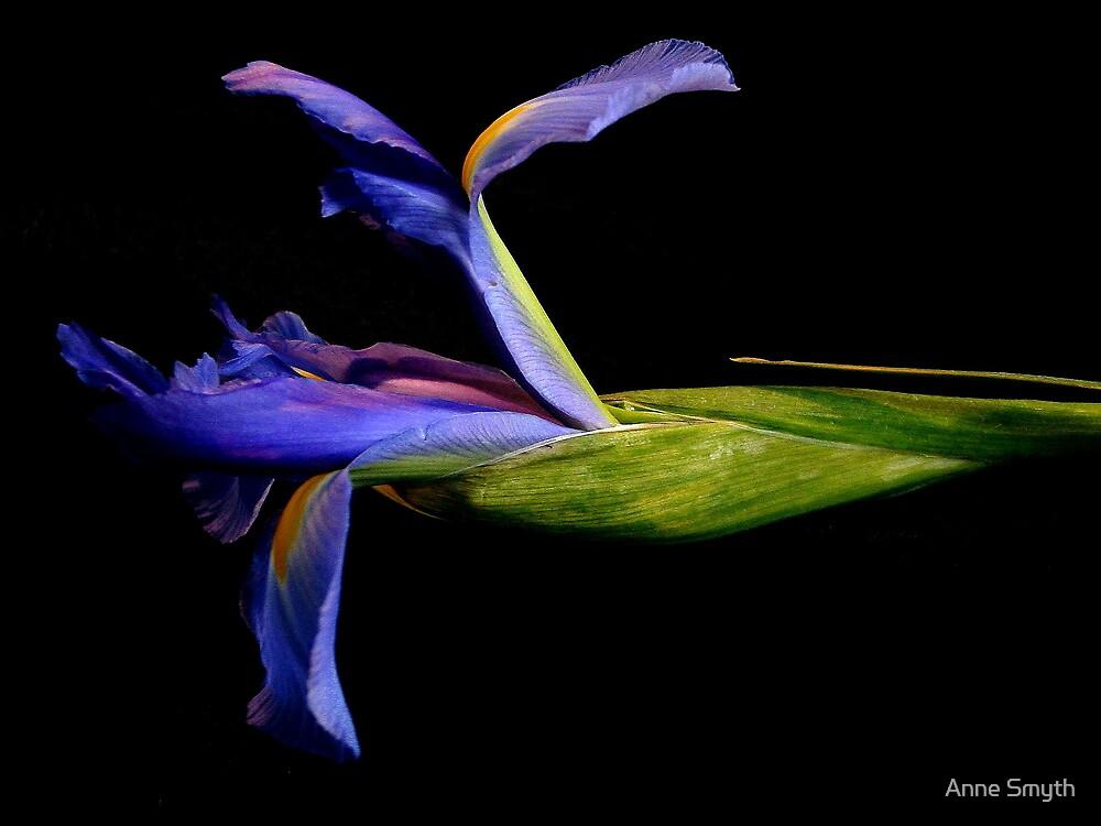 Iris by Anne Smyth