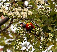 Rainbow Lorikeet enjoying the spring blooms in a gum tree. by Jaxybelle