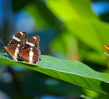 Butterflies on a leaf B by Benjamin Smith
