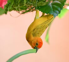Golden Palm Weaver 2 by David Clarke