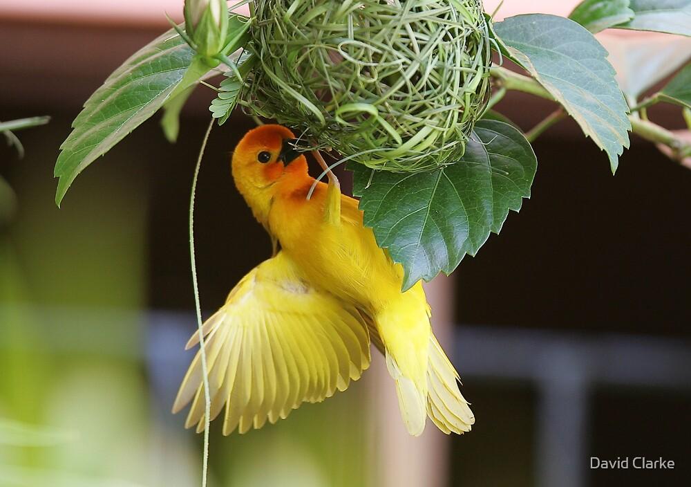 Golden Palm Weaver 5 by David Clarke