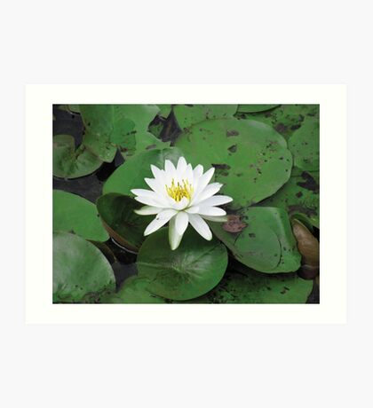 white lily in a sea of green Art Print