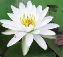white lily in a sea of green Sticker