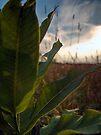 Backlit Leaves (Milkweed) by Aaron Campbell