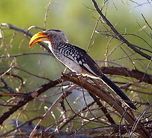 Yellow Billed Hornbill by quebe150