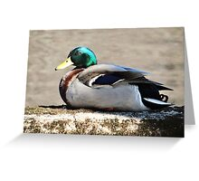 Mallard Drake on the Concord River Greeting Card