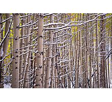Early Winter Aspens Photographic Print