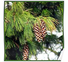 Sunlit Pine Cones Hanging from Tree in Autumn Poster