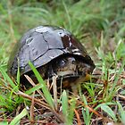 Box turtle in the rain by May Lattanzio