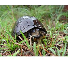 Box turtle in the rain Photographic Print