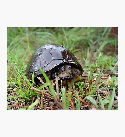Box turtle in the rain Photographic Print