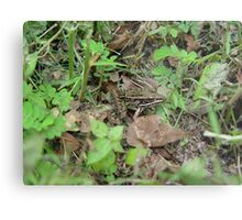 Southern Leopard Frog Metal Print