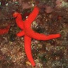 Starfish by baldy