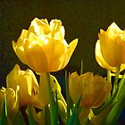 Yellow Tulips0017xx by DavidClements
