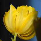 Yellow Tulips 0028xx by DavidClements