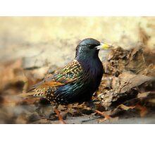 European Starling - Springtime Hues Photographic Print