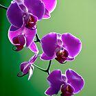 Purple on Green by olivia destandau