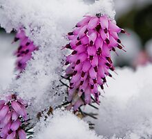 small flower in the snow by pmacimagery