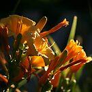 Daylillies at Dawn by Brian Dodd