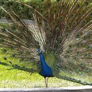 Pavo Real by juan jose Gabaldon