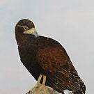 harris hawk - bird of prey by diane nicholson