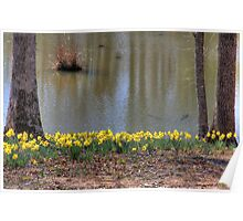 Daffodils overlooking a pond Poster