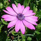 Single Pink African Daisy Against Green Foliage by taiche