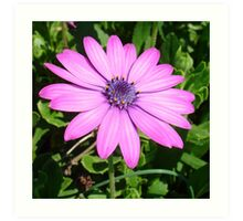 Single Pink African Daisy Against Green Foliage Art Print