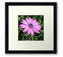 Single Pink African Daisy Against Green Foliage Framed Print