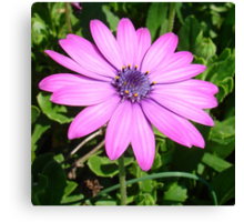 Single Pink African Daisy Against Green Foliage Canvas Print