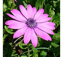 Single Pink African Daisy Against Green Foliage Photographic Print