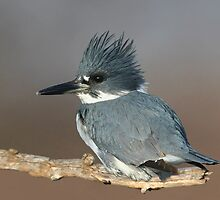 Belted Kingfisher by hard-rain