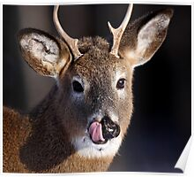 Young Whitetail Buck  Poster