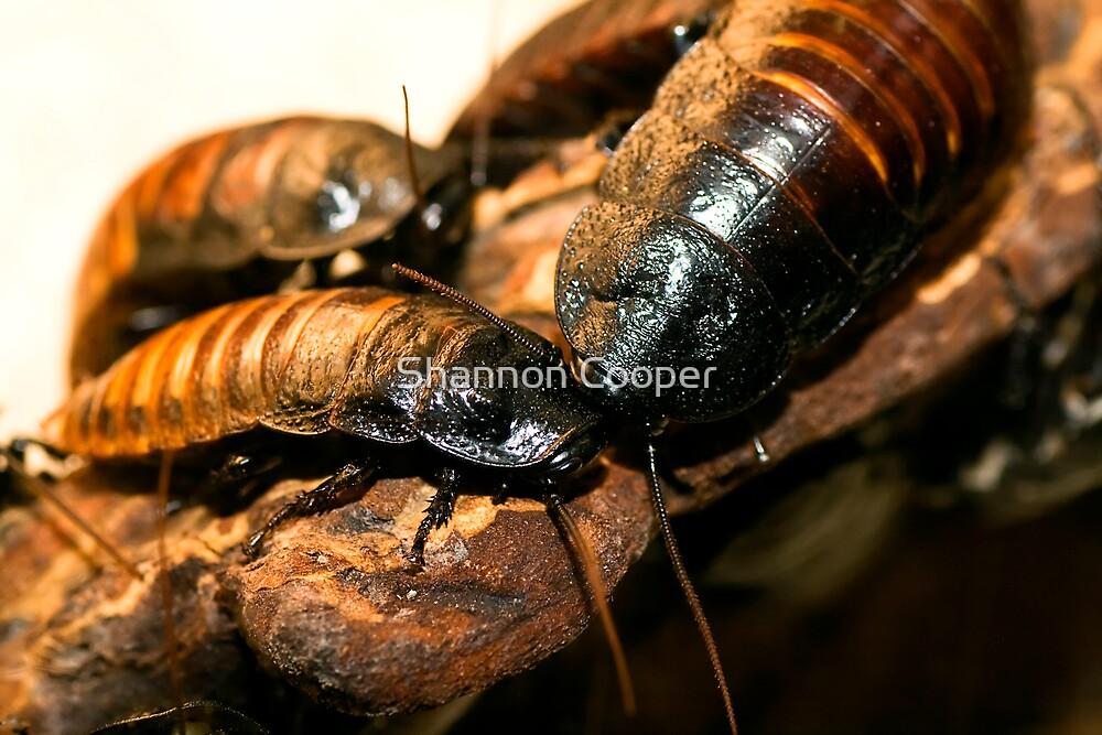 Madagascar Hissing Cockroach by Shannon Beauford
