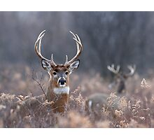 White-tailed Deer In The Brush Photographic Print