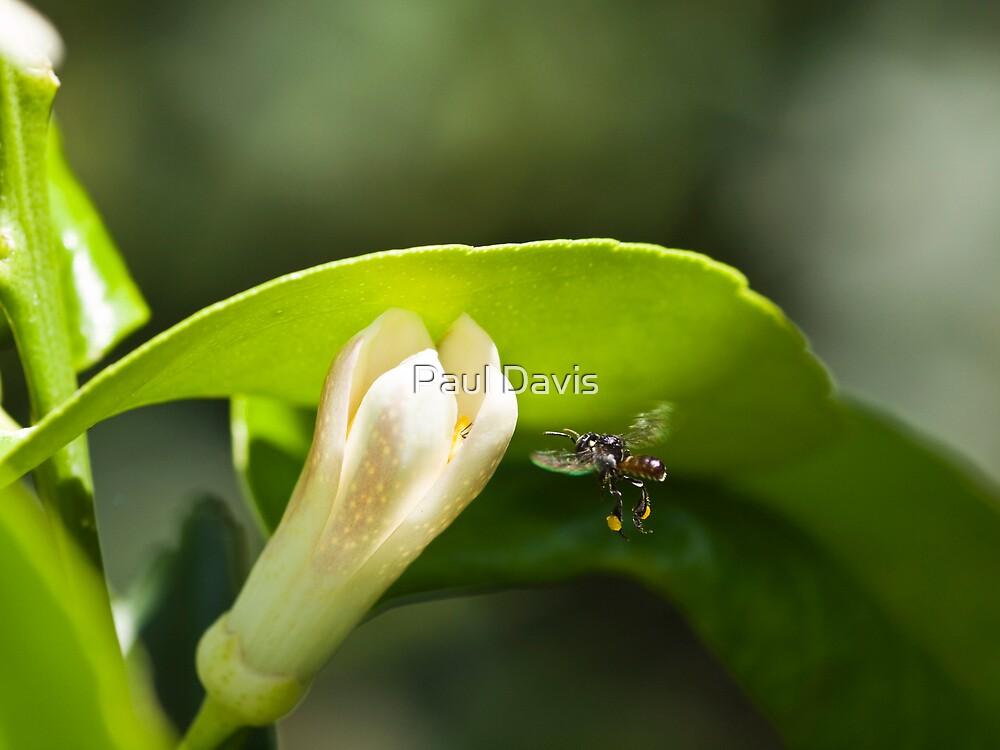 Australian Native Honey Bee by Paul Davis