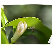 Australian Native Honey Bee Poster