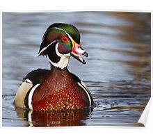 Wood Duck laugh Poster
