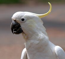 Sulphur Crested Cockatoo II by Tom Newman