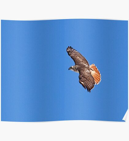 Red Tailed Hawk Majestic Beauty Poster