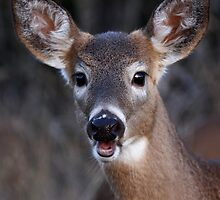 Well hello there! - White-tailed Deer by Jim Cumming