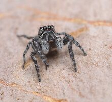 Tiny Jumping Spider by Andrew Trevor-Jones