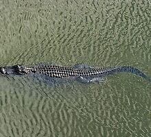 American Alligator - Swimming by Stephen Beattie