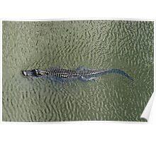 American Alligator - Swimming Poster