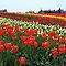 Tulips, tulips and tulips