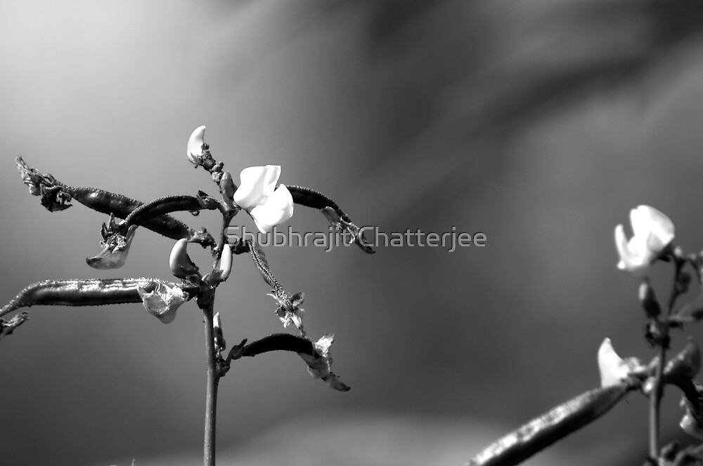 Sweet Pea Flower in Black and White by Shubhrajit Chatterjee