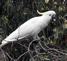 Sulphur-crested Cockatoo by Beryl Smith
