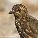 Tristan Thrush, Nightingale Island by JoAndCoCards