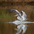 Pelican landing by David Clarke